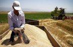 مدیر تعاون روستایی سرخس: خرید تضمینی حدود ۱۸ هزار تن گندم از کشاورزان سرخسی